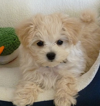 In Maryland Sale Puppies For Maltipoo