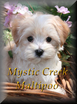 Morkie Puppies on Yorktese Or Morkie Puppies For Sale From Mystic Creek Puppies