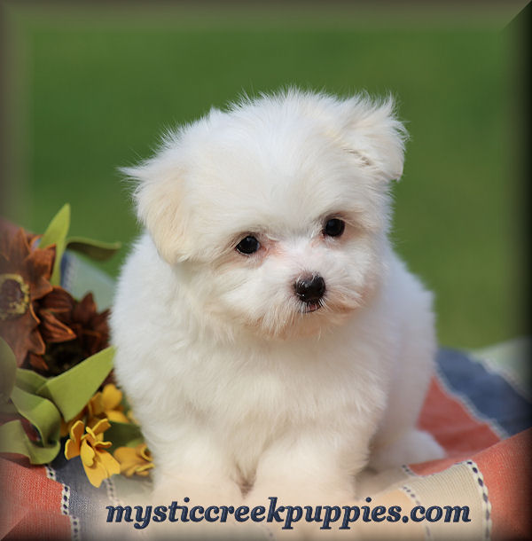 Available AKC Maltese puppies for sale from Mystic Creek
