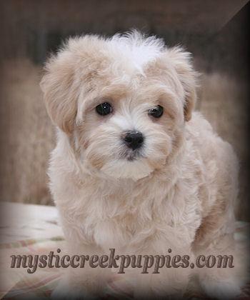 webphoto.Kara_Sophie_9wks_Maltipoo_puppies_for_sale_in_california.jpg