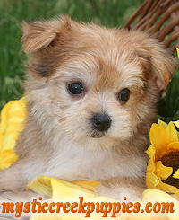 Puppies for Sale Yorkie Puppies for Sale Local Yorkshire Terrier ...